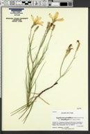 Lygodesmia grandiflora var. dianthopsis image