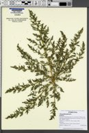 Oxybasis glauca image