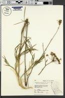 Image of Perideridia kelloggii