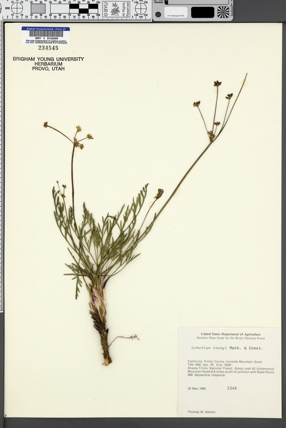 Lomatium tracyi image