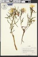 Oenothera pallida var. pallida image