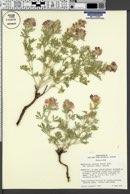 Sphaeralcea coccinea subsp. coccinea image