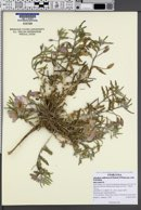 Image of Oenothera avita