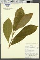 Image of Tetrorchidium macrophyllum