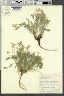 Astragalus calycosus var. calycosus image