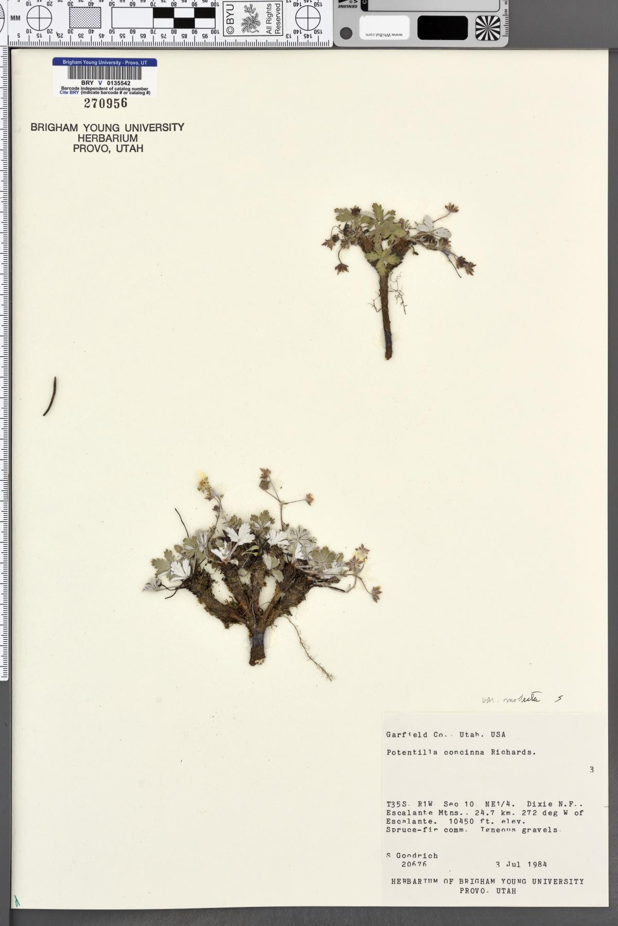Potentilla rubricaulis image