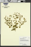 Pediomelum canescens image