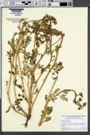 Image of Phacelia ciliata