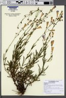 Penstemon neotericus image