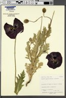 Image of Papaver glaucum