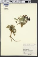 Astragalus chamaeleuce image