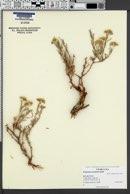 Image of Eriogonum clavellatum