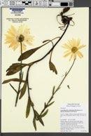 Image of Leucanthemum x superbum