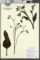 Cynoglossum grande image
