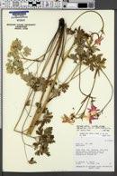 Aquilegia loriae image