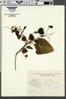 Image of Aristolochia foetida