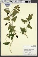 Image of Aristolochia debilis
