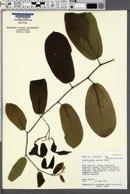 Aristolochia maxima image