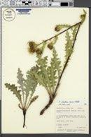 Cirsium clavatum image