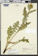 Cirsium clavatum var. clavatum image
