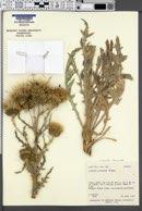 Image of Cirsium canovirens