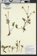 Image of Ranunculus canus