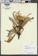 Cirsium scariosum var. scariosum image