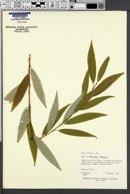 Image of Salix x blanda
