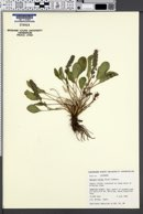 Besseya alpina image