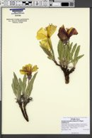 Oenothera howardii image