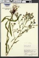 Symphyotrichum laeve var. geyeri image