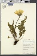 Balsamorhiza hookeri var. neglecta image