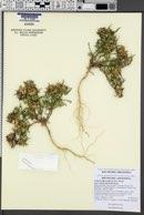 Collomia biflora image