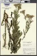 Image of Erechtites glomeratus