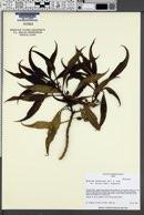 Image of Myoporum sandwicense