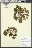 Phacelia demissa image