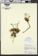 Gilia tenuis image
