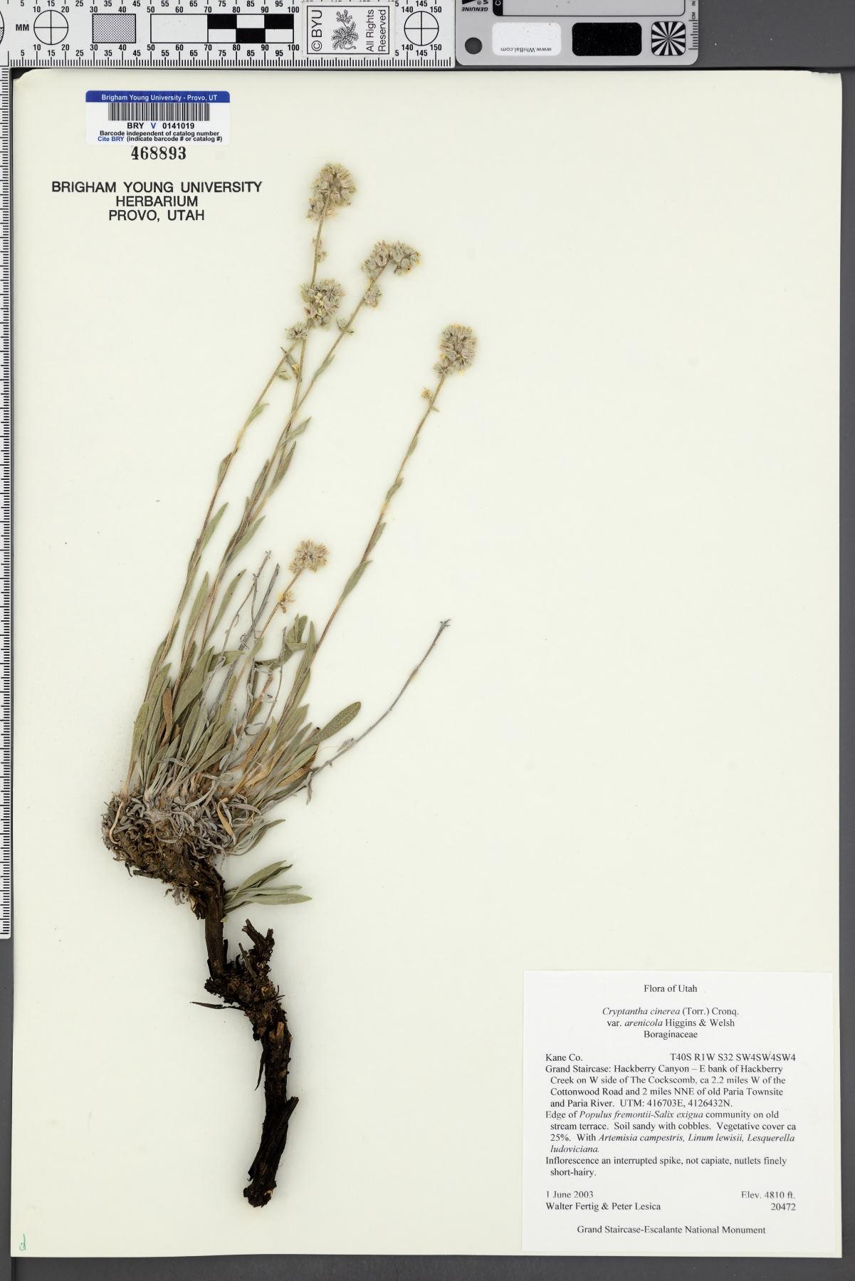 Oreocarya suffruticosa var. arenicola image