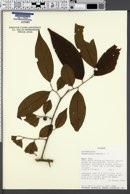 Margaritaria nobilis image