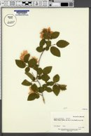 Ostrya knowltonii image