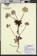 Image of Calyptridium monospermum