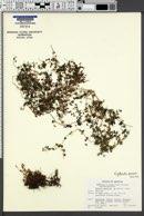 Image of Erythranthe parvula