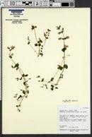 Erythranthe arvensis image