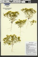 Pectis angustifolia var. angustifolia image