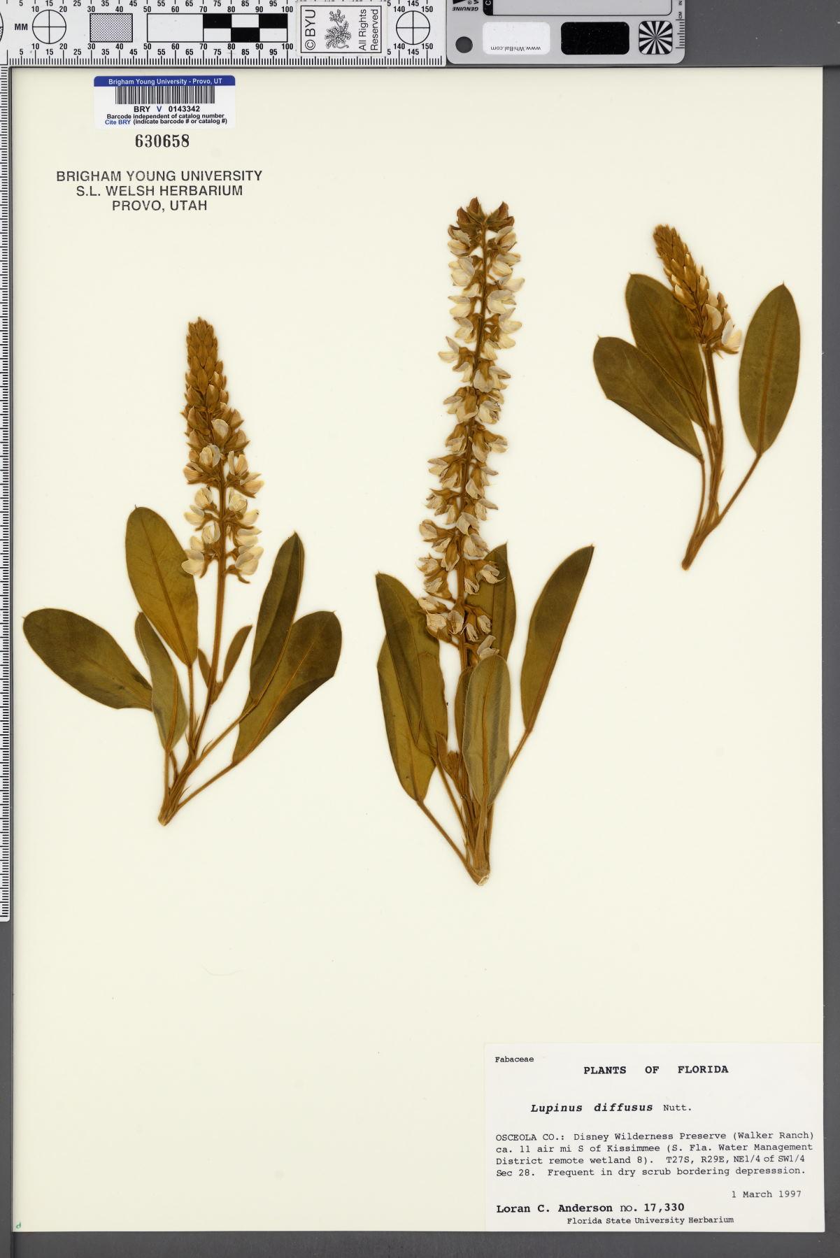 Lupinus diffusus image