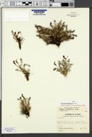Image of Oxytropis huddelsonii
