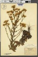Chrysopsis latisquamea image