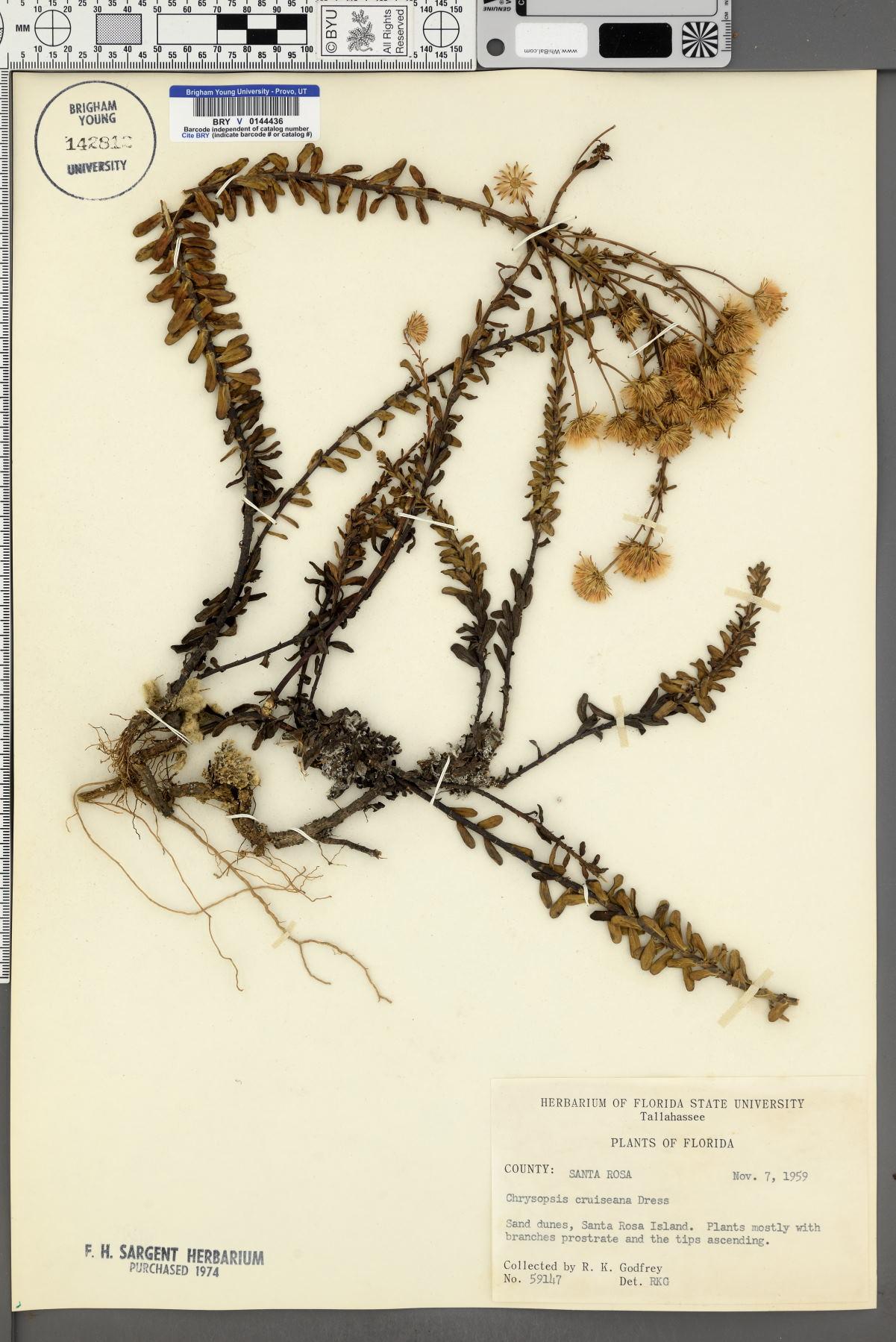 Chrysopsis cruiseana image