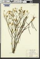 Chrysopsis aspera image