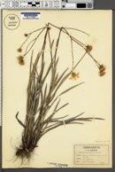 Image of Chrysopsis oligantha